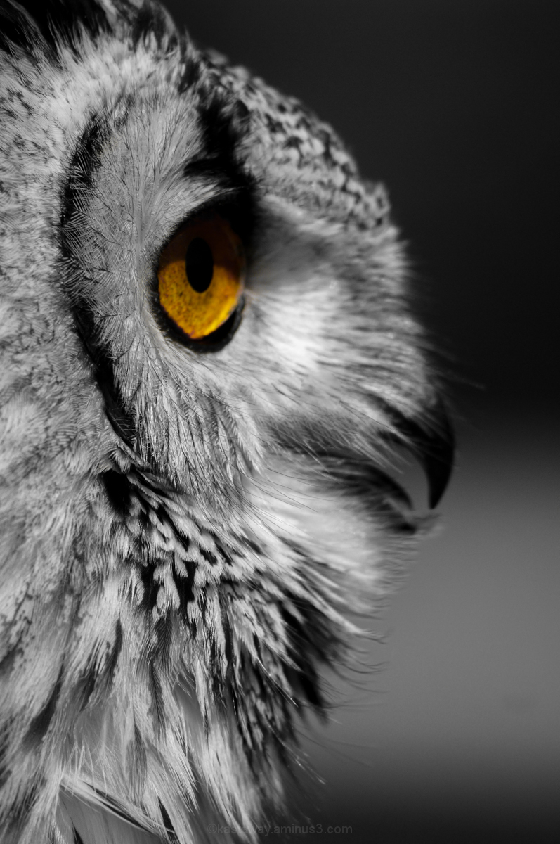 Owl selective colour eye B&W