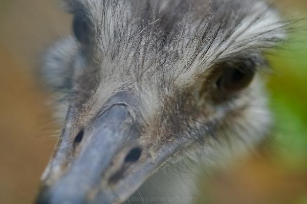 greater rhea dartmoor zoo