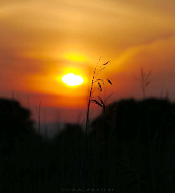 grass stalk sun set