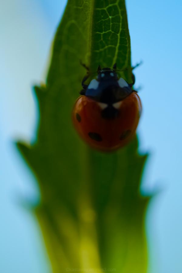 ladybird leaf hiding