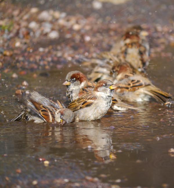 sparrow bird bath