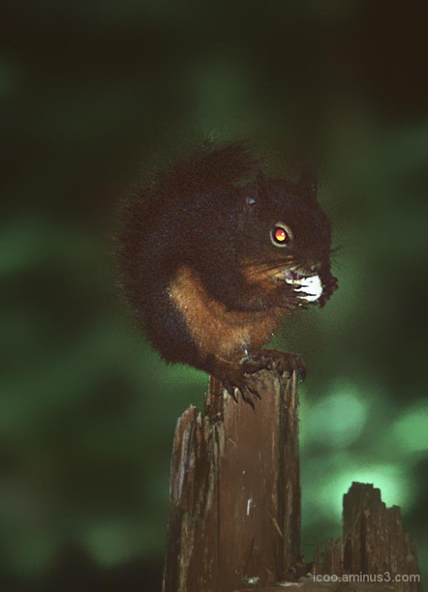 Squirrel on Wood