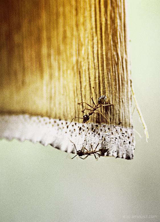 Ants Bamboo