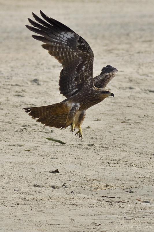 bird predator beach