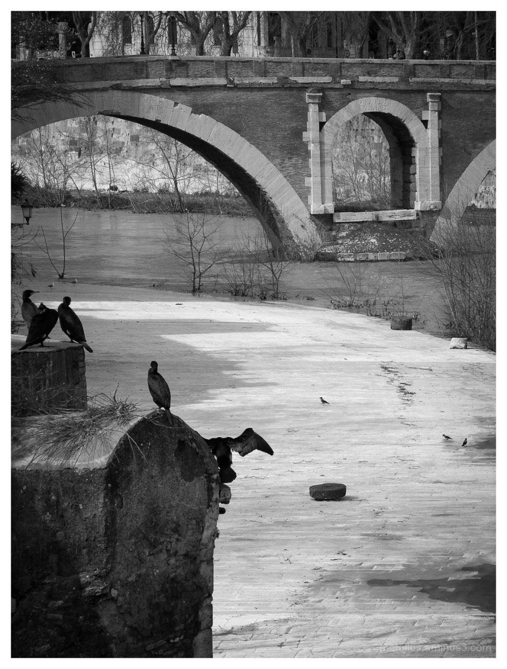 Birds at Tiber river in Rome, Italy