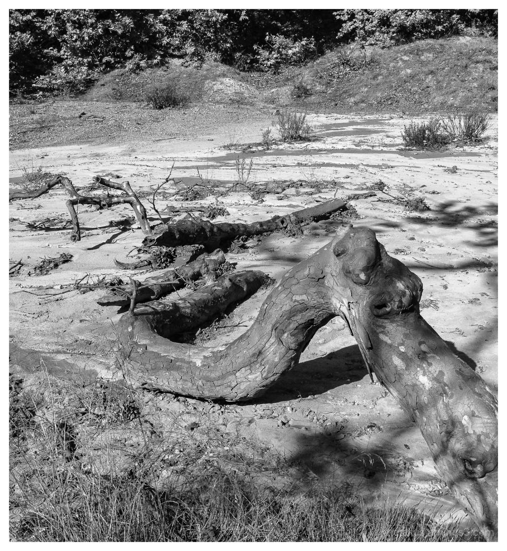 An dead tree at Evia, Greece