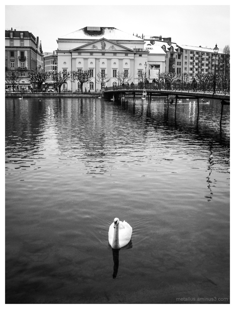 A Swan at Lucerne, Switzerland