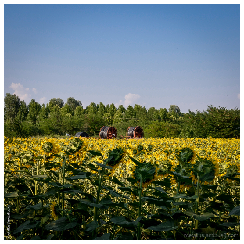 Sunflower field at Fotolivos, Drama, Greece 2013