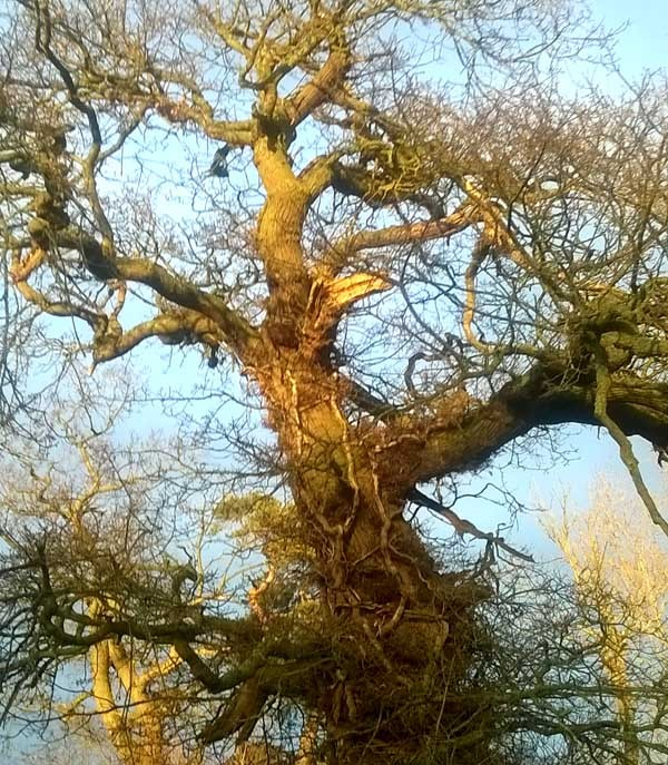 Hug an Oak Tree