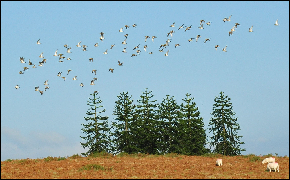Golden plovers and Monkey Puzzles