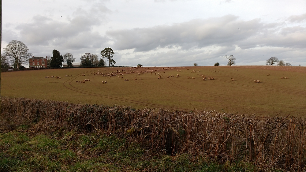 Brown sheep in the field