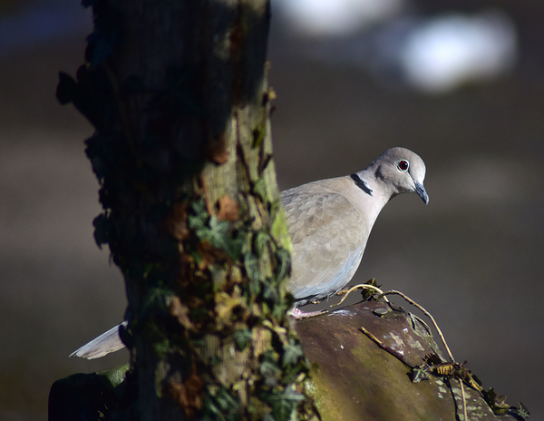 Ring Doves are back