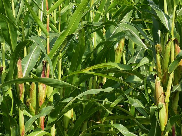 A Maize