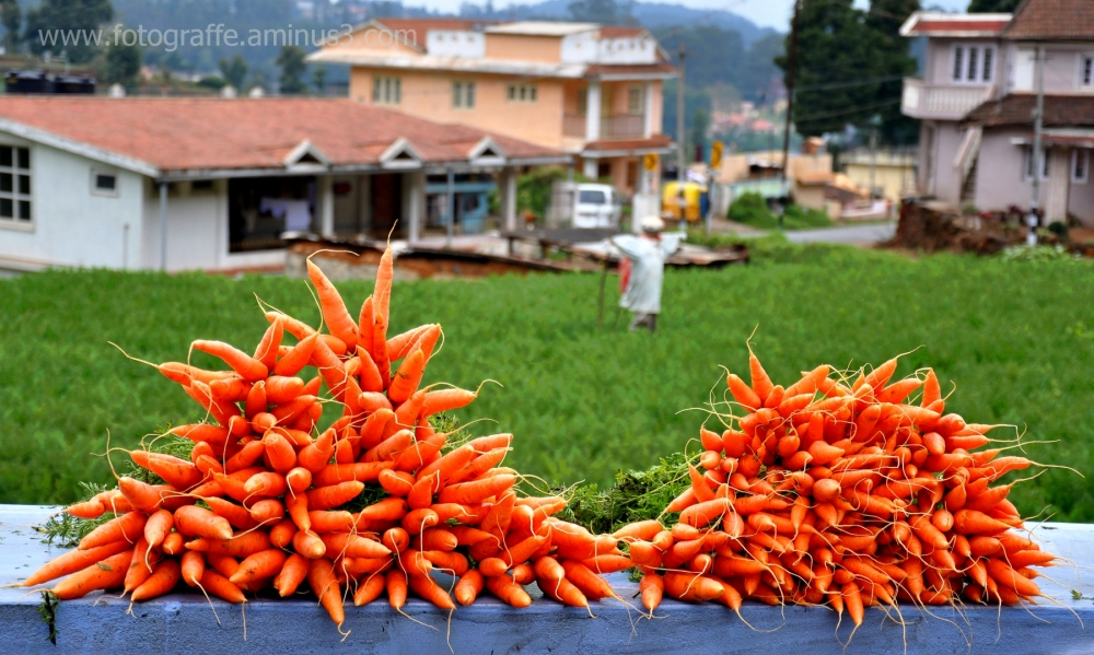 Carrot farming in Ooty India
