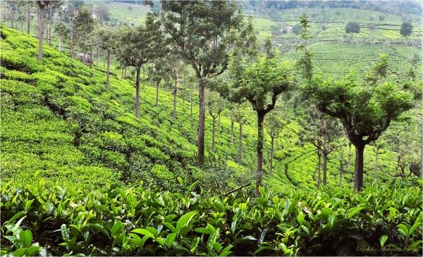Tea Garden Ooty