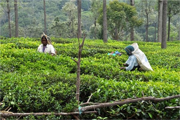 Ooty Tea Garden