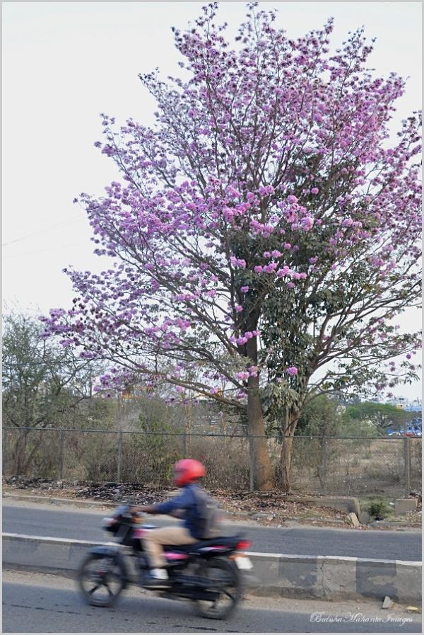 Pink Tabebuia Bangalore