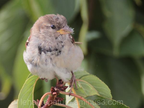 moineau     sparrow