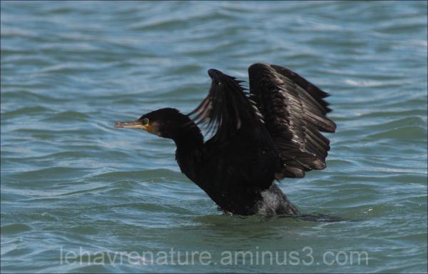 cormoran     cormorant