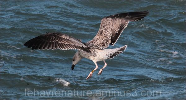 jeune goeland        young gull