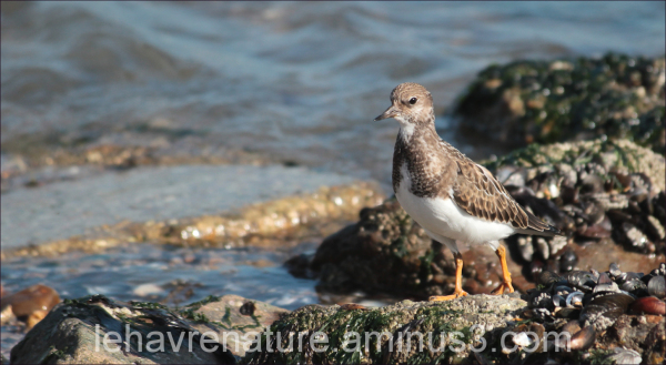 tournepierre à collier     Ruddy Turnstone