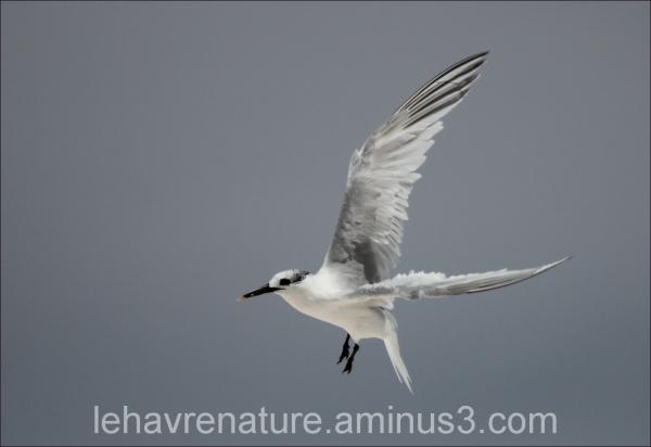 sterne caugek        Sandwich Tern