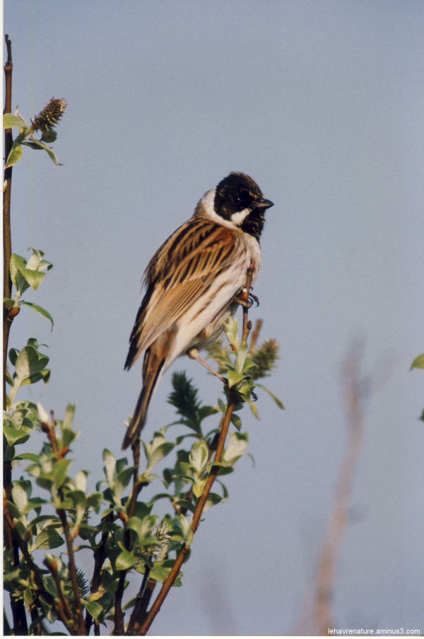 Bruant des roseaux        Reed bunting