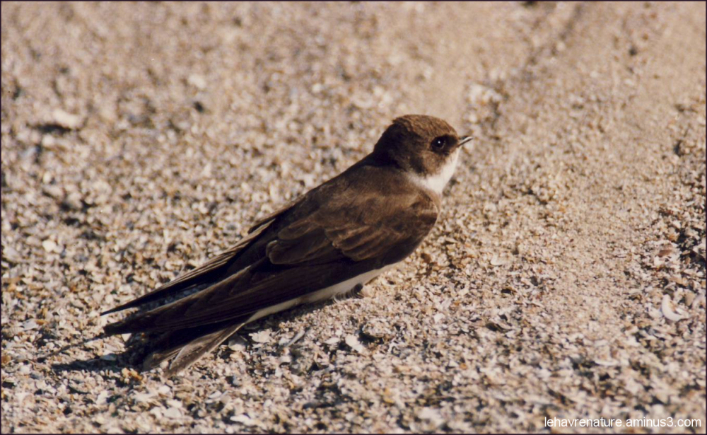 Hirondelle de rivage            Bank Swallow
