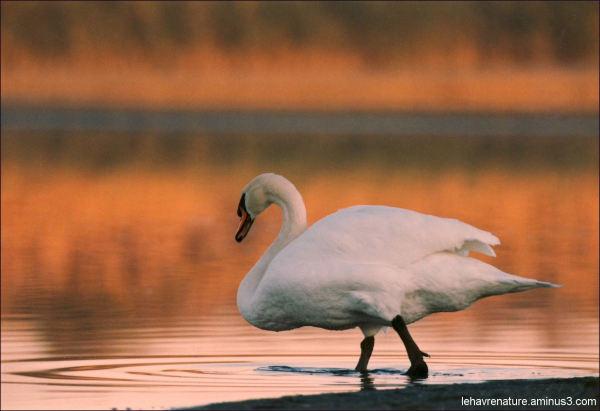 Cygne    swan