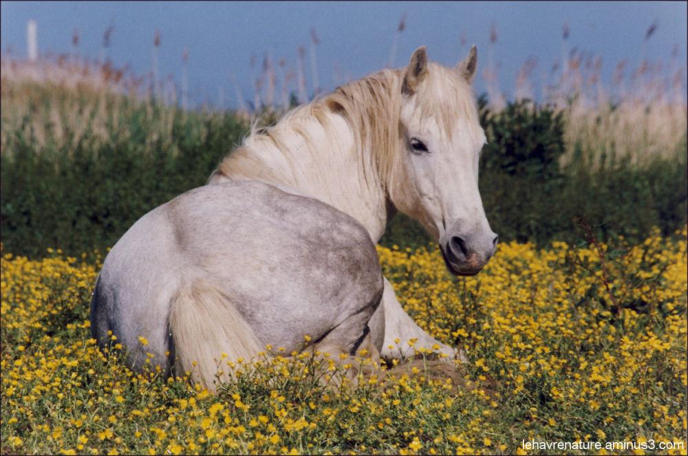 cheval camarguais          Camargue horse