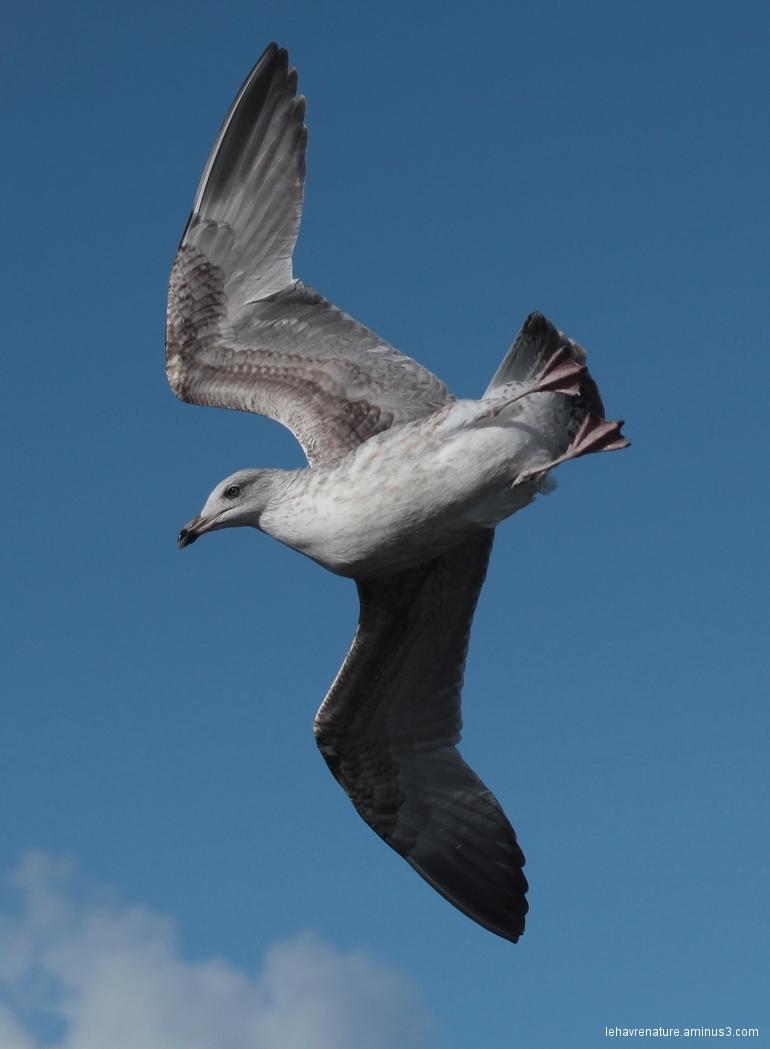 goeland  juvénile    juvenile gull