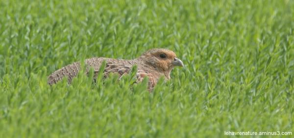 Perdrix grise      partridge