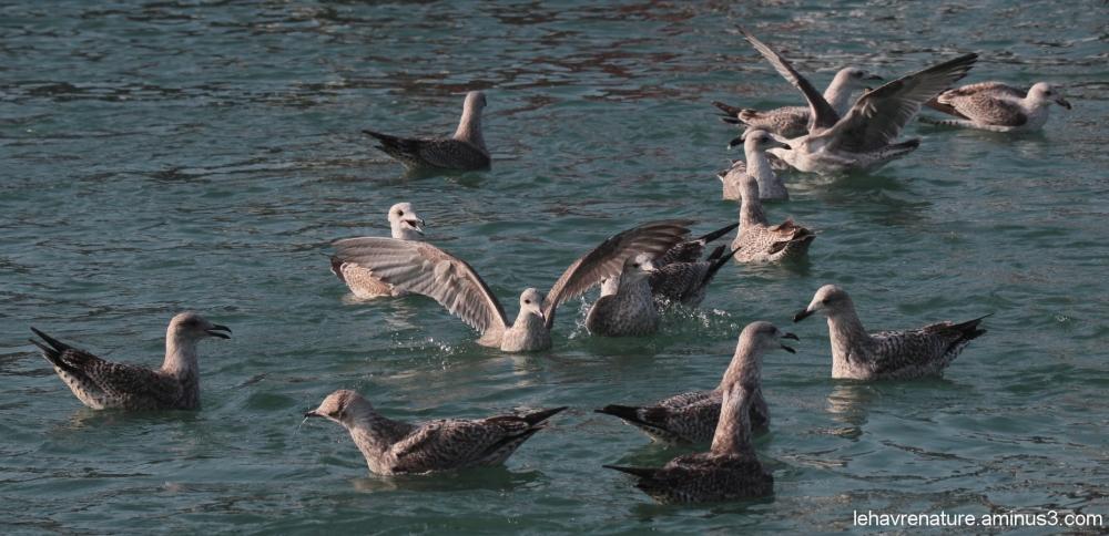 goelands  juvéniles   juvenile gulls