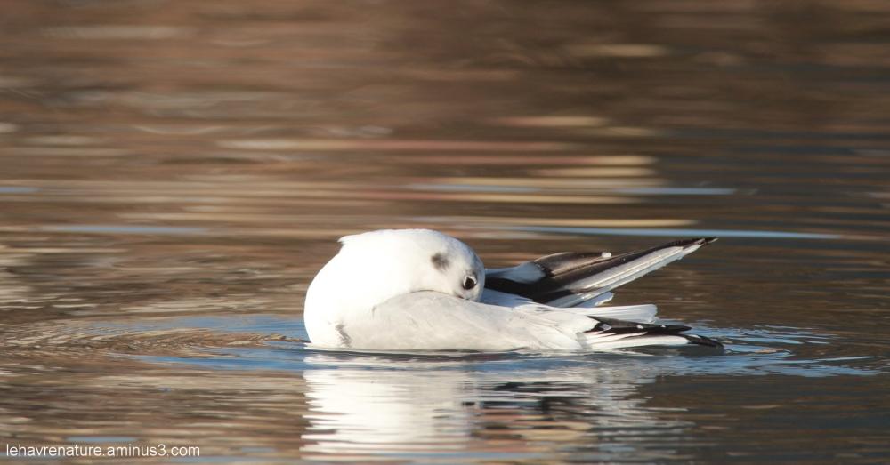 mouette rieuse            blackhead gull