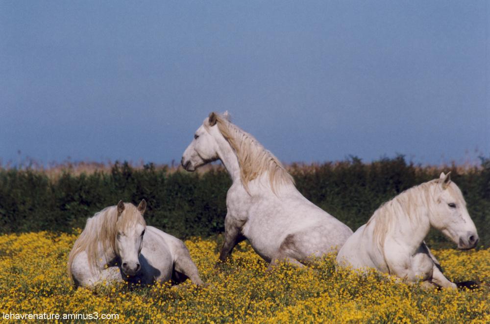chevaux camarguais          Camargue horses