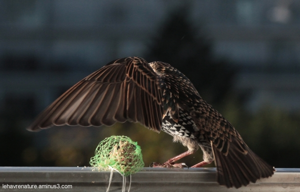 étourneau        starling