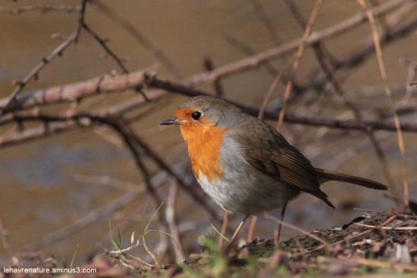 rouge-gorge   robin