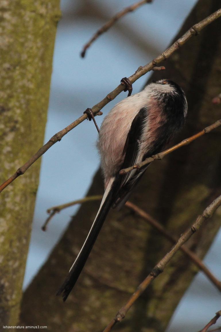 Mésange à longue queue   Long-tailed Tit