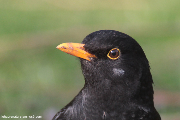 merle  blackbird