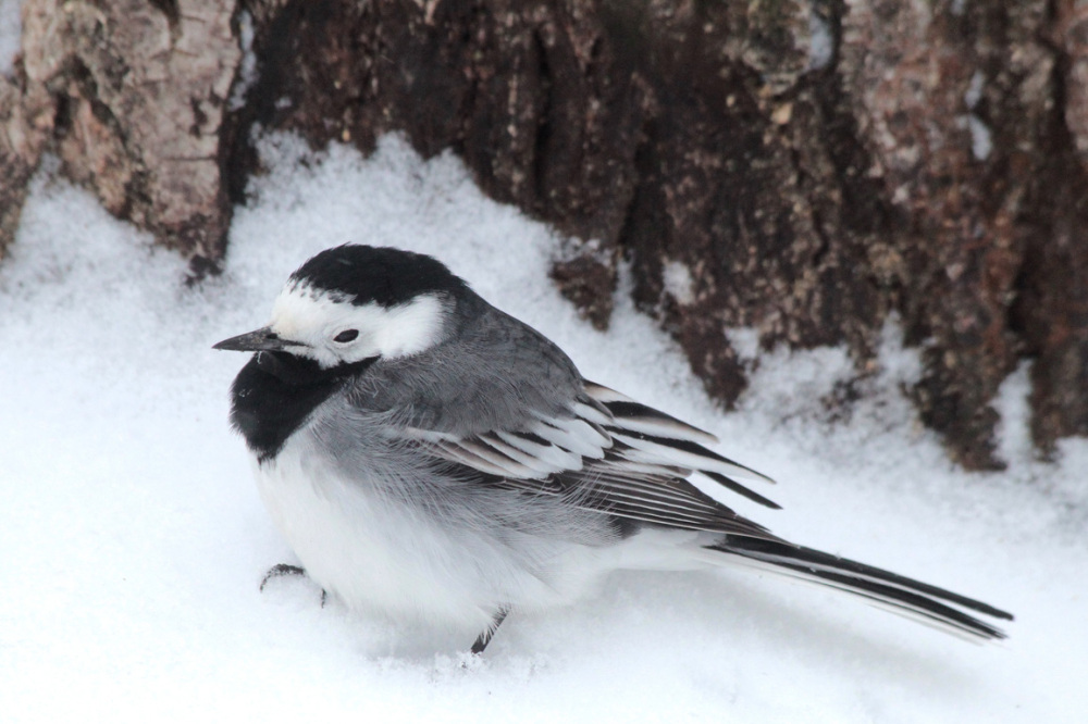 Bergeronnette grise  White Wagtail