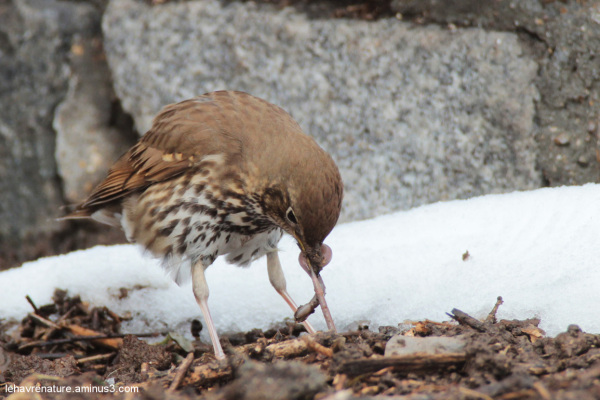 Grive musicienne            Song Thrush