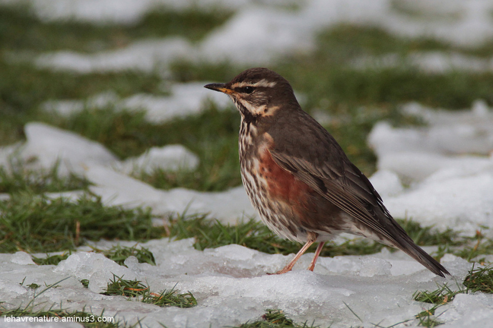 Grive mauvis  Redwing