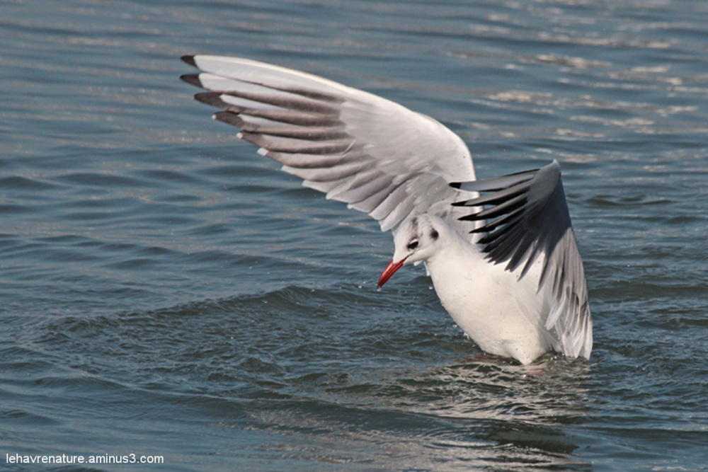 mouette rieuse            blackhead gull