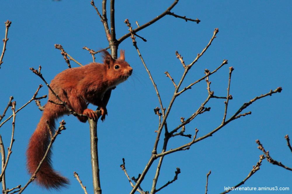 ecureuil   squirrel