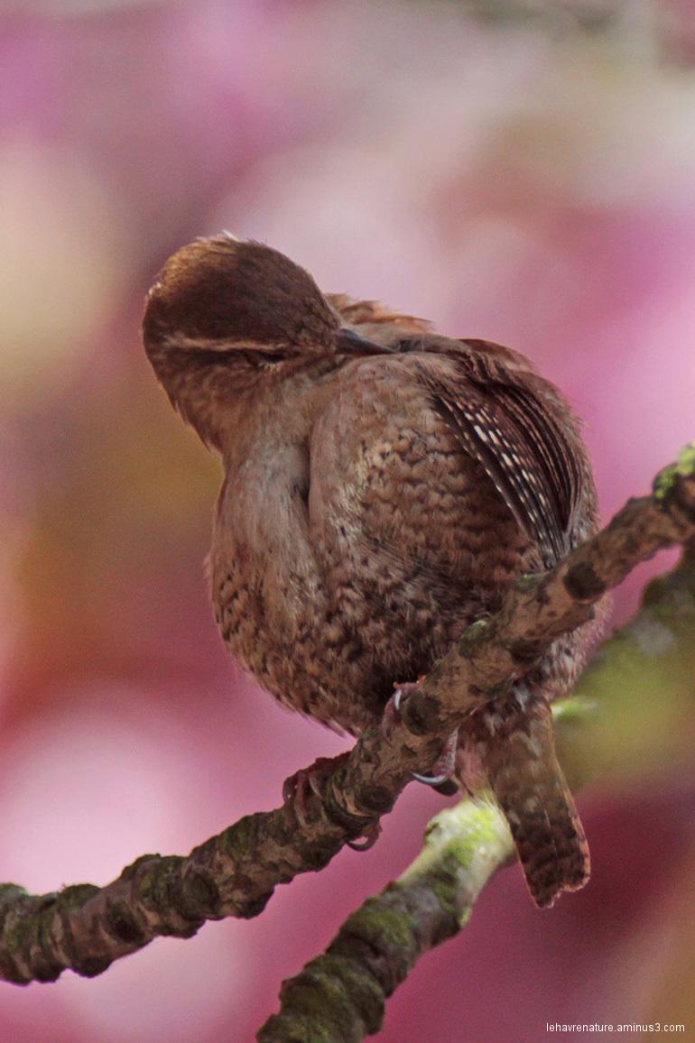 Troglodyte mignon  Wren