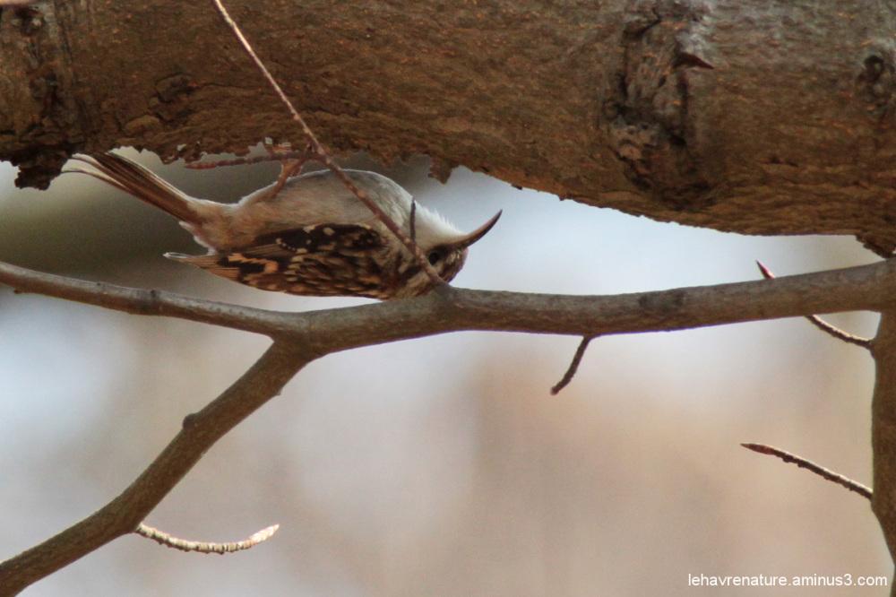 Grimpereau / tree creeper