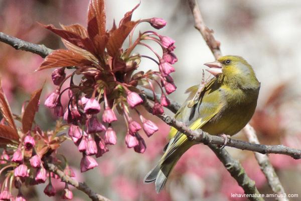 Verdier  / greenfinch