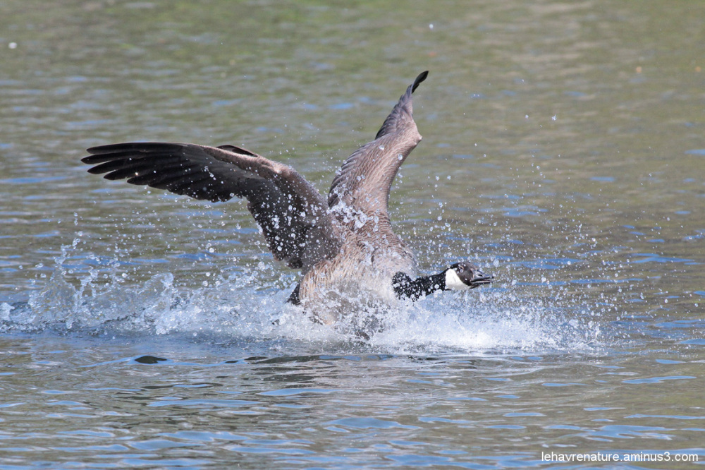 bernache du canada /Canada Goose    2/3