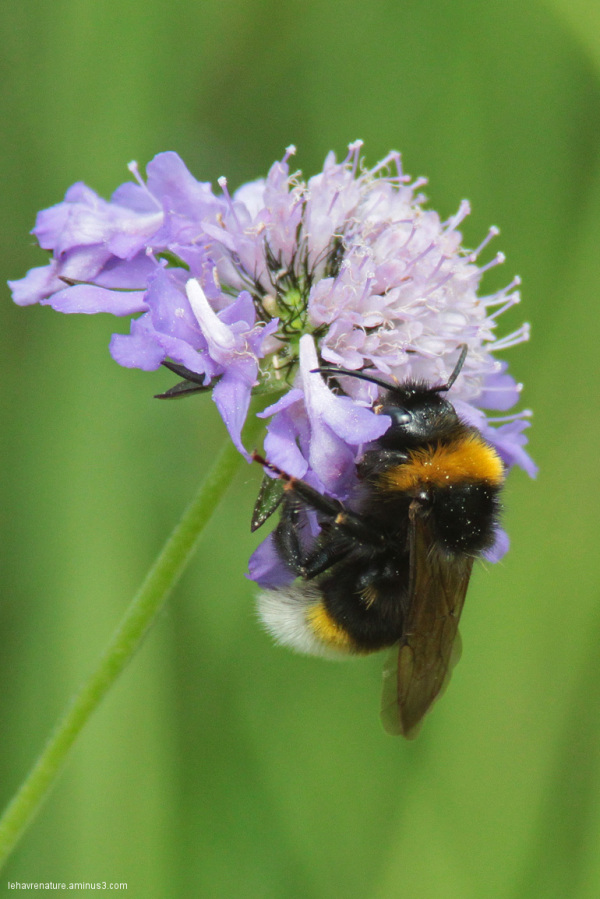 Bourdon /  bumblebee