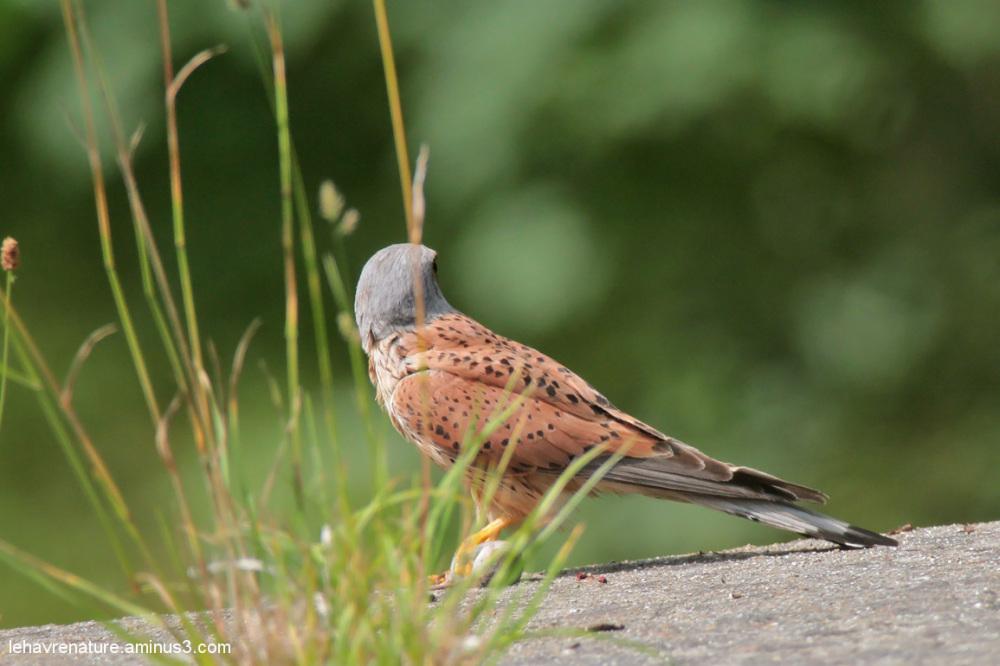 faucon crécerelle     kestrel